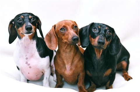 Gallery For > Black And Tan Piebald Dachshund