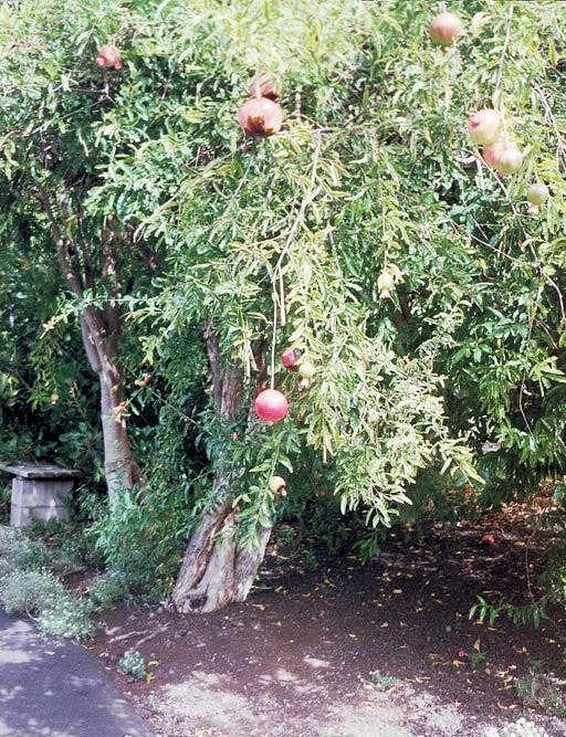 Pěstování granátového jablka - Exotické ovoce