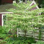 Cornus alternifolia - Pagoda Dogwood