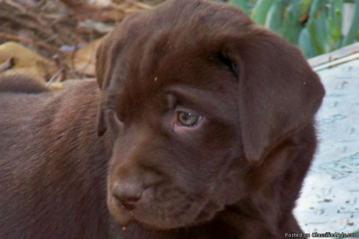 akc dogs AKC Chocolate lab puppies Price 300350 in
