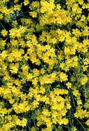 Jasminum nudiflorum - Winter jasmine- Shrub