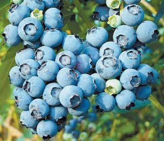 Μύρτιλα (blueberries) και άγρια μύρτιλα (bilberries) για το μεταβολικό σύνδρομο, την παχυσαρκία, τον διαβήτη, την καρδιά, τον καρκίνο, τα μάτια, την αντιγήρανση. - MEDLABNEWS.GR / IATRIKA NEA