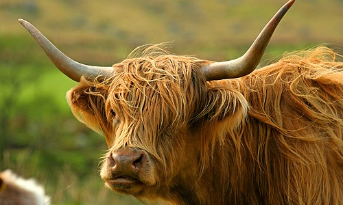Google Image Result for http://www.whatsonscotland.com/Content/Images/cowlg.jpg