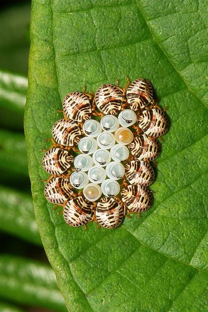 Shield bugs with eggs