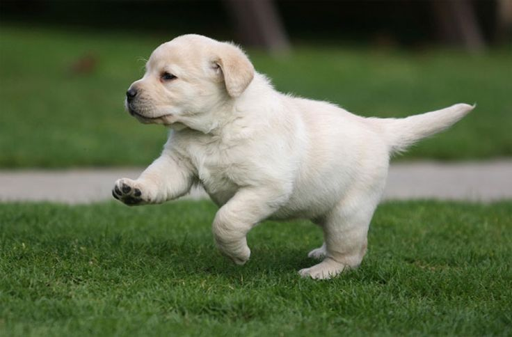 #Labrador