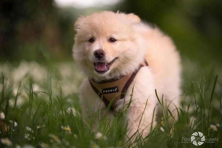 FrozenMoments Photography - Finnischer Lapphund 8 Wochen <3