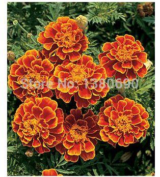 shop Queen Sophia Marigold.Large,showy blooms change color as flowers mature.Flower seeds For Home Garden.Bonsai Plants--50seeds sale