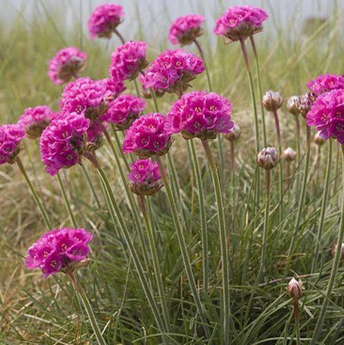 Vaste planten voor droge standplaats
