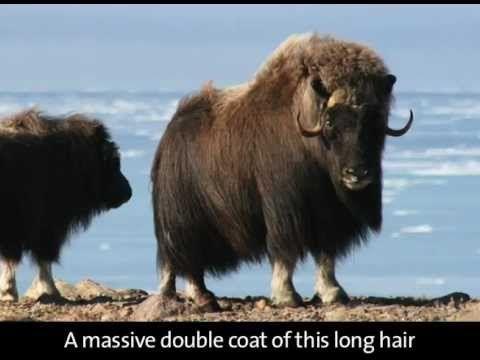 nunavut animals facts