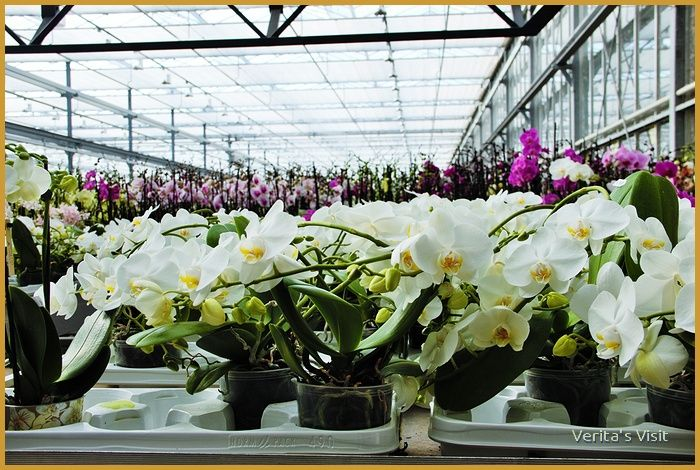 A visit to a #flower greenhouse in #Holland http://veritasvisit.nl/bike-to-a-greenhouse-holland/