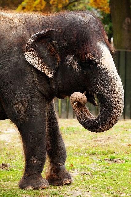 animal, asian, brown, teeth, elephant, herbivore, huge