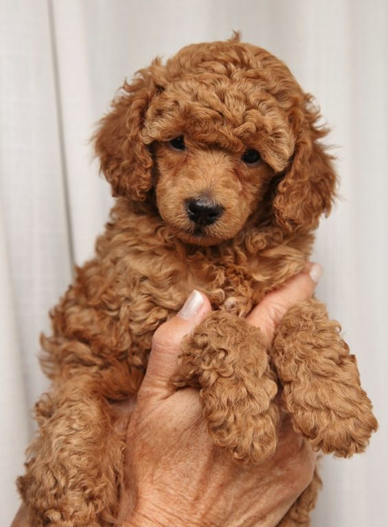 toy poodle! Tinkerbell used to look like this!