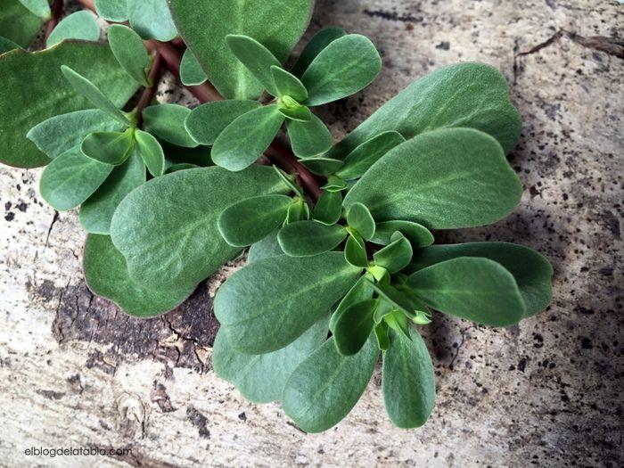 El Blog de La Tabla: Plantas muy útiles. Portulaca oleracea (verdolaga)
