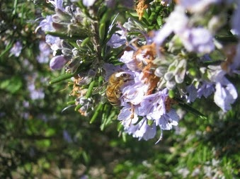 Fiore del rosmarino