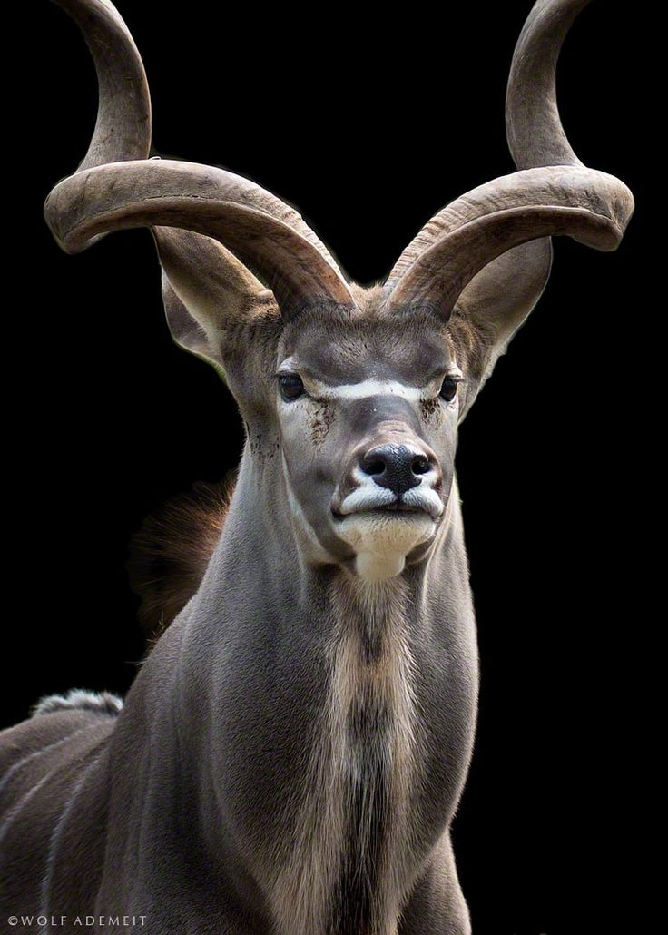 majestically kudu by Wolf Ademeit on 500px