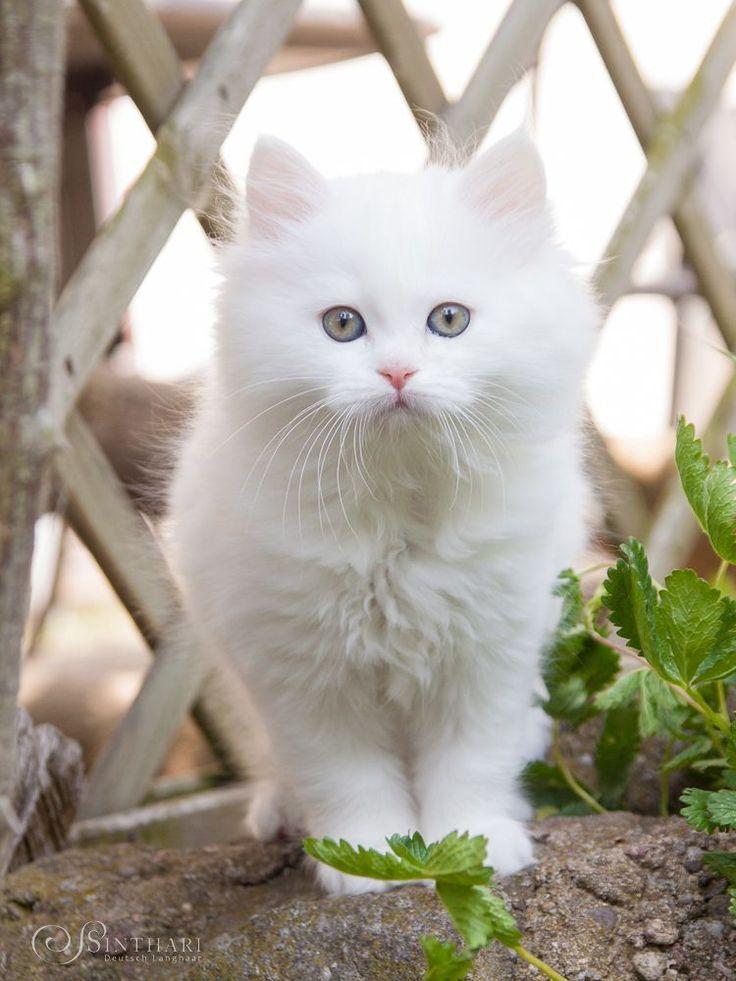 белые пушистые котики фото редко могут возникнуть