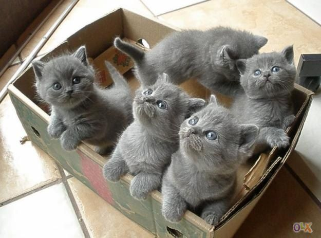 british shorthair look like the cats off the Mcvities biscuits advert - they're gorgeous