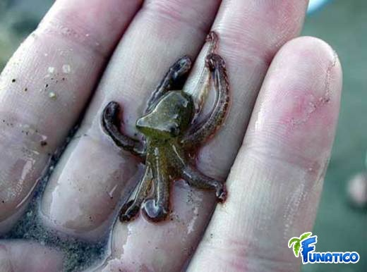 Smallest octopus species is Octopus Wolfi. Found in the Indo-Pacific Ocean. Measures only 1.5 cm in length – full grown and weighs less than a gram!