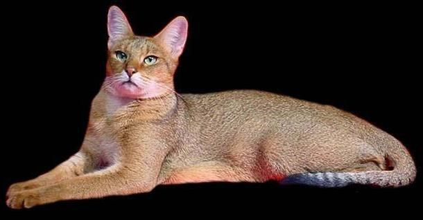 Chausie cat - Domestic Hybrid, twice standard house cat size with distinctive puma-like traits