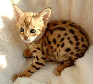Breeder Directory - Savannah Cat