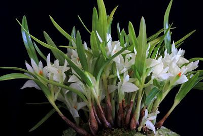 Orchids in Bloom: Northwest Orchid Society Show