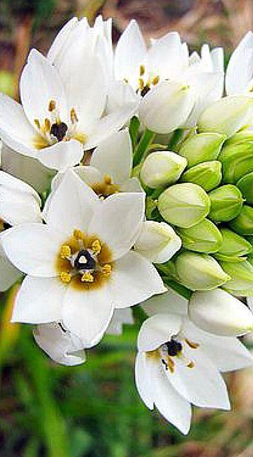 Wonder flower, Chincherinchee, Calheta, Madeira Island