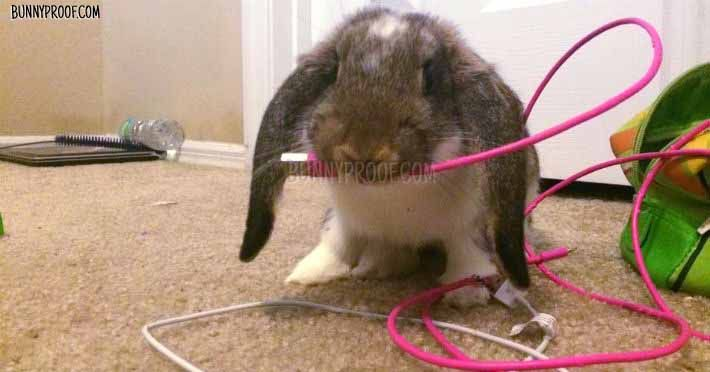 How To Stop Your Rabbit Chewing With Chew Stoppers Bitter Sprays Rabbit Wire Electrical Cables Rabbit