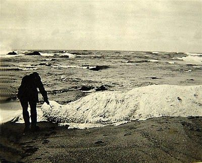 On October 25, 1924, people on a beach in KwaZulu-Natal, Margate, South Africa, witnessed a sea battle between a giant, white colored sea creature and two whales.  Later that night, the bloodless carcass of a sea creature washed ashore.  The body was measured at 47 feet long, 10 feet wide and 5 feet high.  It had an unusual lobster-like tail that was 10 feet long and the entire body appeared to be covered in white fur, which was 8 inches long.