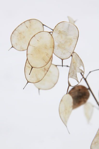 Lunaria annua, also known as the money plant because the leaves, once the outer dried layer is removed, leaving the silver layer, look like silver coins.