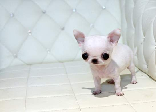 Teacup Applehead Chihuahua Applehead Teacup Chihuahua