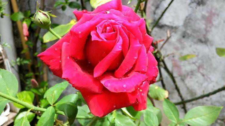 Rosa Te