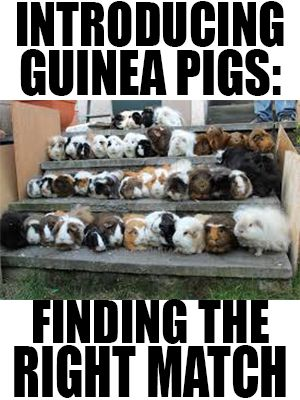 Introducing guinea pigs: finding the right match.