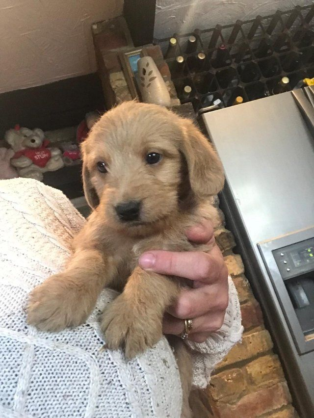 Labradoodle puppies For Sale in Ware, Herts | Preloved