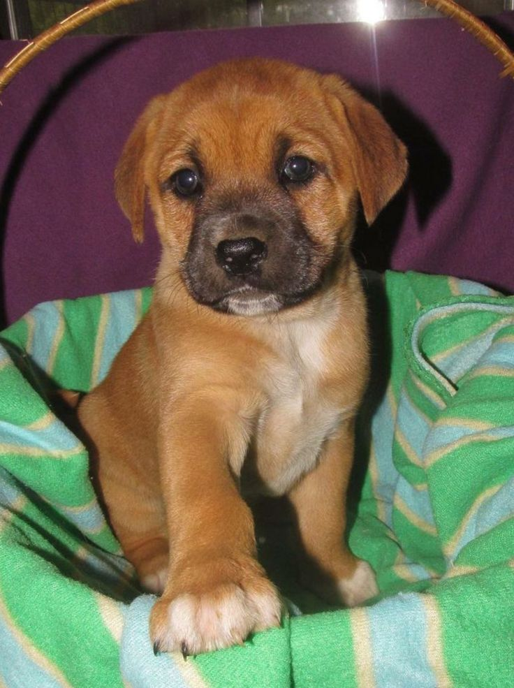 A cute little black mouth cur hunting dog                                                                                                                                                                                 More