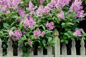 Lilacs leaning on rustic picket fences.