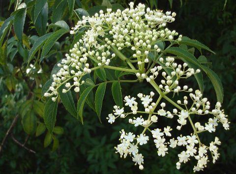 El árbol de Neem  es en la India, una fuente de muchos remedios naturales, al ser sus propiedades medicinales asociadas a bastantes padecimi...