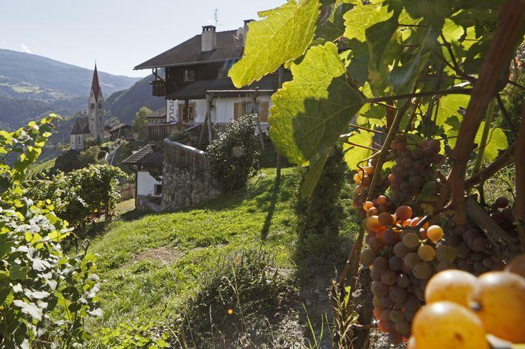 Traubenernte - Urlaub auf dem Bauernhof in Südtirol  Raccolta delle uve - Vacanze autunnale in agriturismo in Alto Adige
