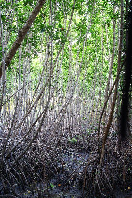 Mangrove park in Bali