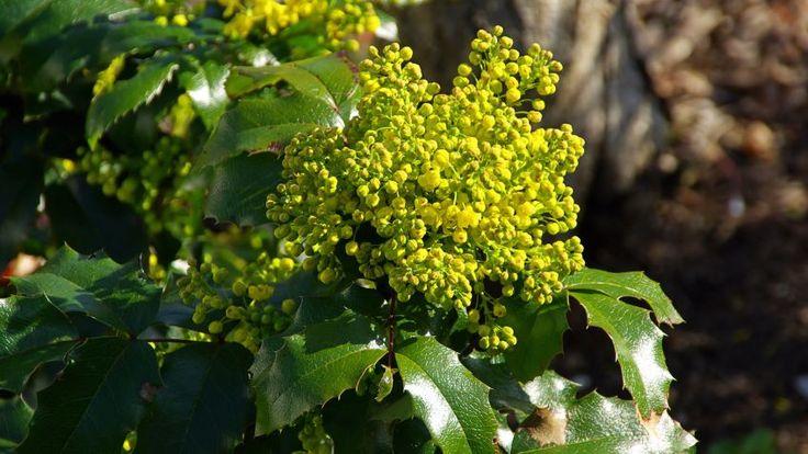 Arbustos que florecen en invierno