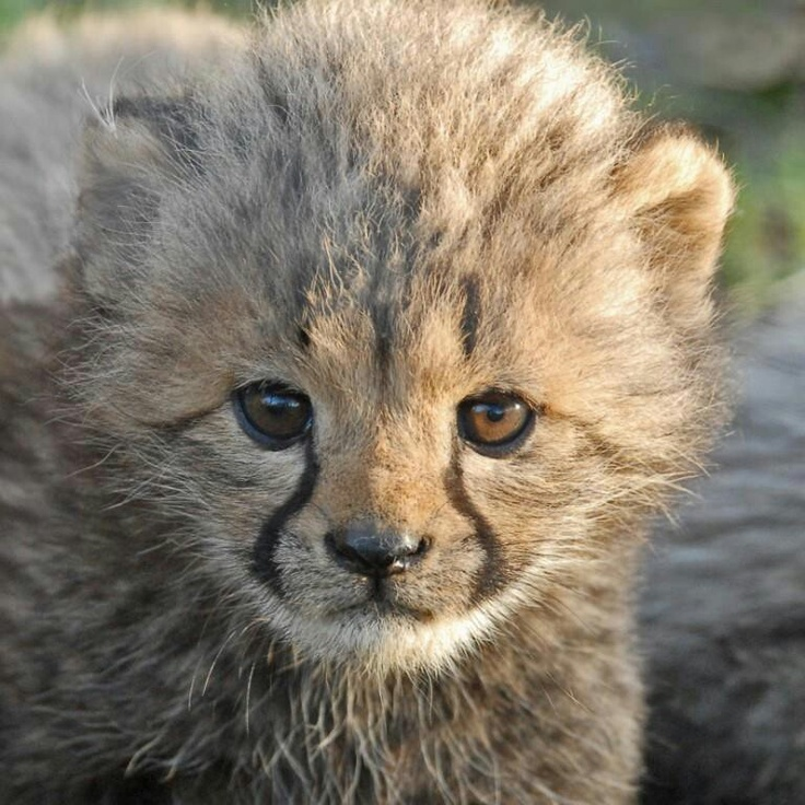 Cheetah kitten