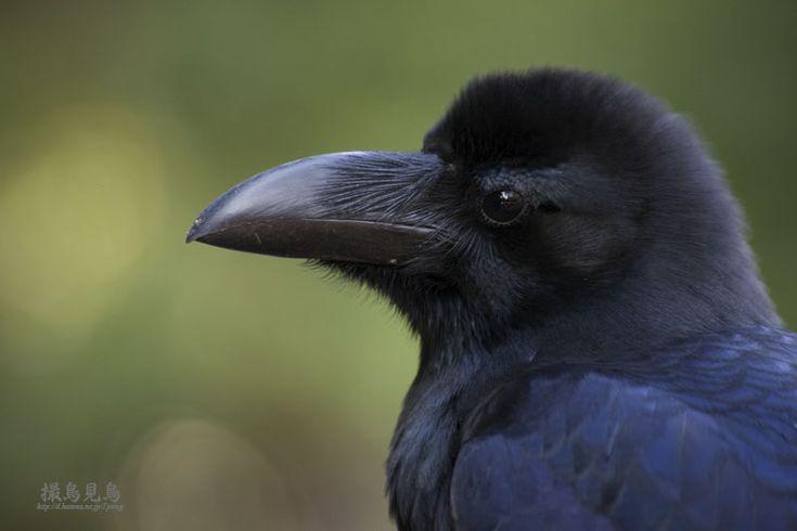 Jungle Crow(Corvus macrorhynchos)ハシブトガラス