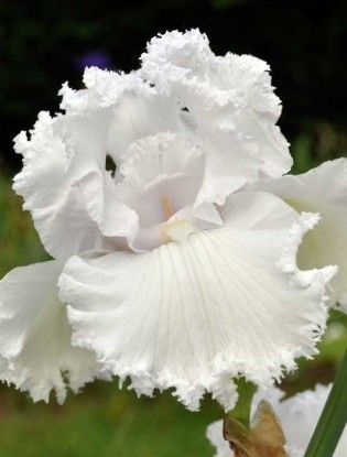 Iris 'Queen Of Angels' - A white tall bearded iris with a wash of lilac. Scented - from Claire Austin Hardy Plants {Mercurelli's Garden Design Palette}