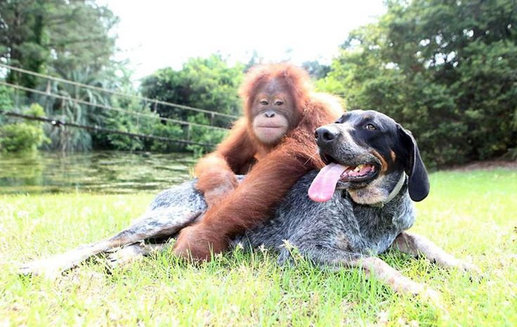 Suryia the orangutan and Roscoe, a bluetick coonhound, became friends at a South Carolina preserve. Now they swim together, play together and Suryia even takes the dog for his walks.