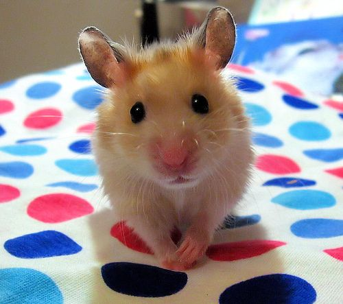 hamsters - Google Search: Mice, Twister, Animal Pictures, Beautiful Animal, Pet, Hamsters, Cutest Sweetest, Pugs, Baby Mouse