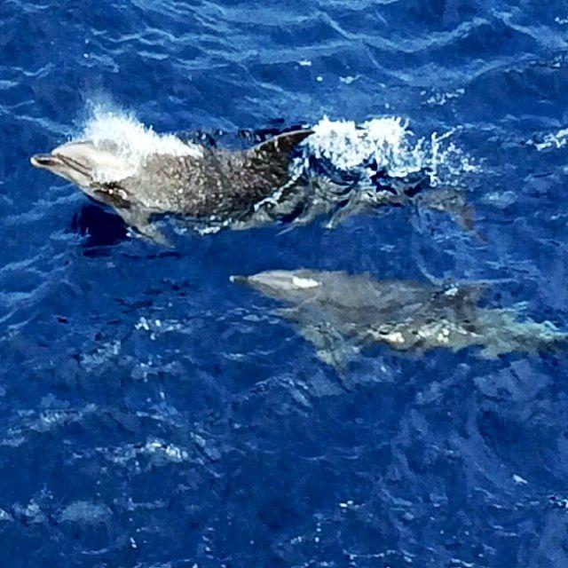 Dolphins in the wild @TeamWhites photo.