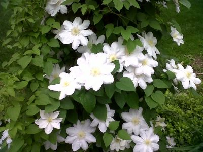 Planting and Care Instructions for Clematis