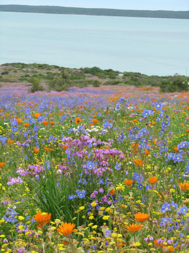 Every year in September the West Coast of Cape Town comes alive with colour. Take a drive up to the West Coast National Park and see the carpet of colourful wild flowers. #flowers #westcoast #springflowers