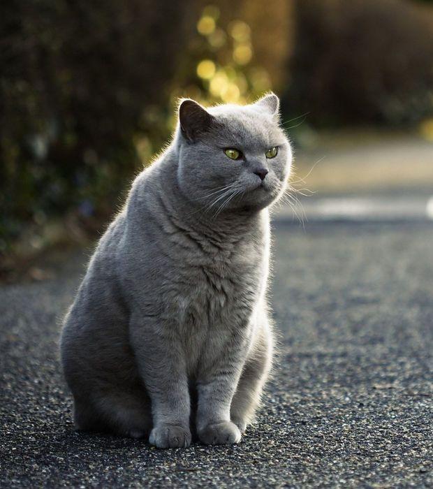 Les meilleures idées de la catégorie Chats persans blancs en