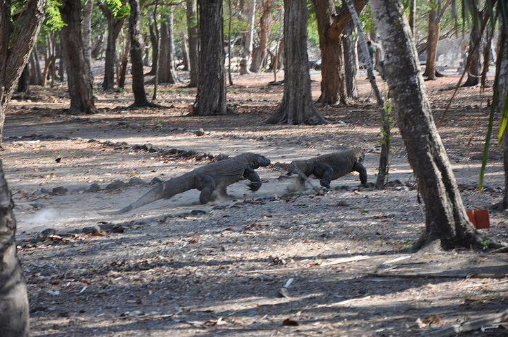 Wild Komodo dragon - Komodo island (17118478512) (2) - Varan komodský – Wikipedie