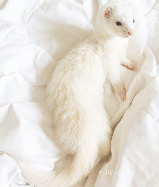 Beautiful Cute Ferret Smallpet White Cute Animals Cute